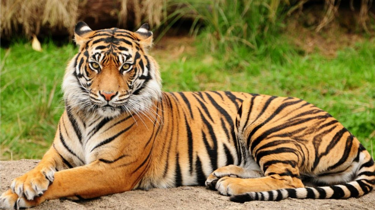 20 Interesting Facts Of Sumatra Tiger Factsofindonesia Com