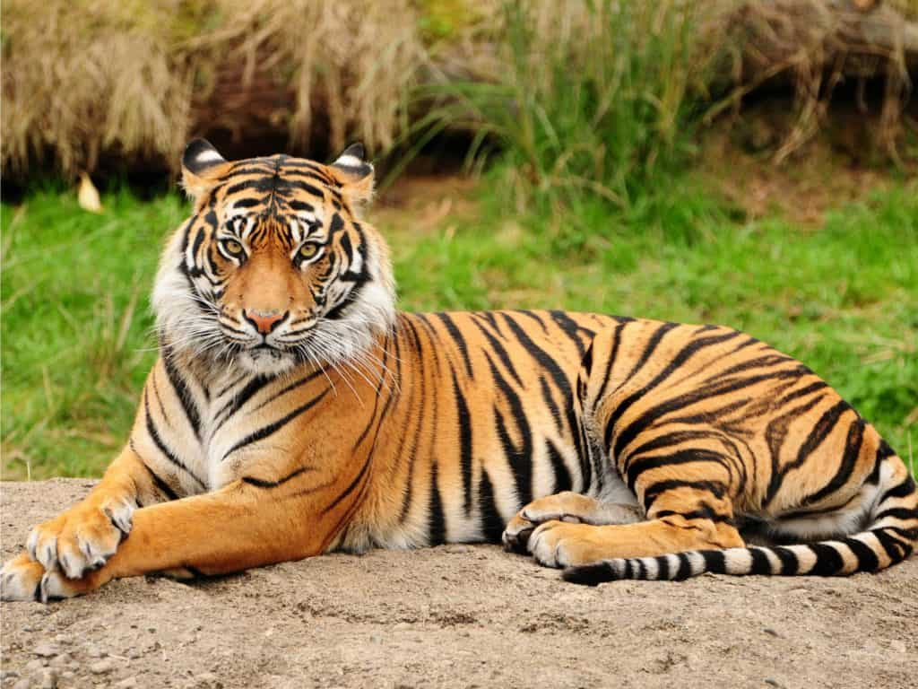 Sumatran Tigers Conservation Programs And Efforts Facts