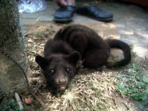 Civet lombok, ferrets, animals, luwak coffee