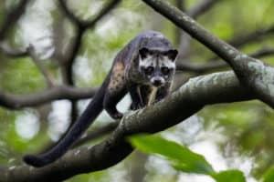 Musang pandan, scent pandan leaves, Ferret
