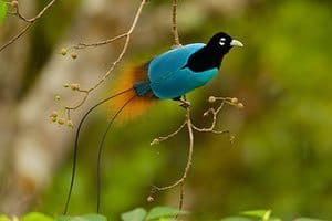 Bird of Paradise, birds, beautiful birds, bird