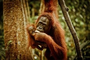 Top 35 Interesting Facts About Orangutans in Indonesia