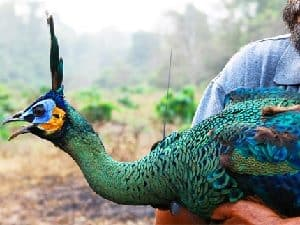 male peafowl