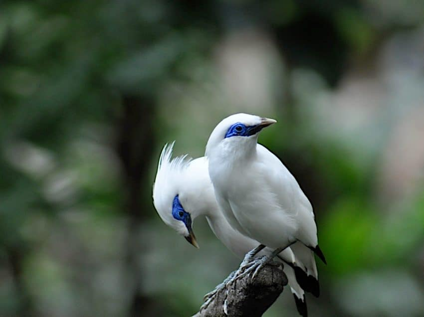 Bali Myna Bird Facts – Characteristics and Conservation