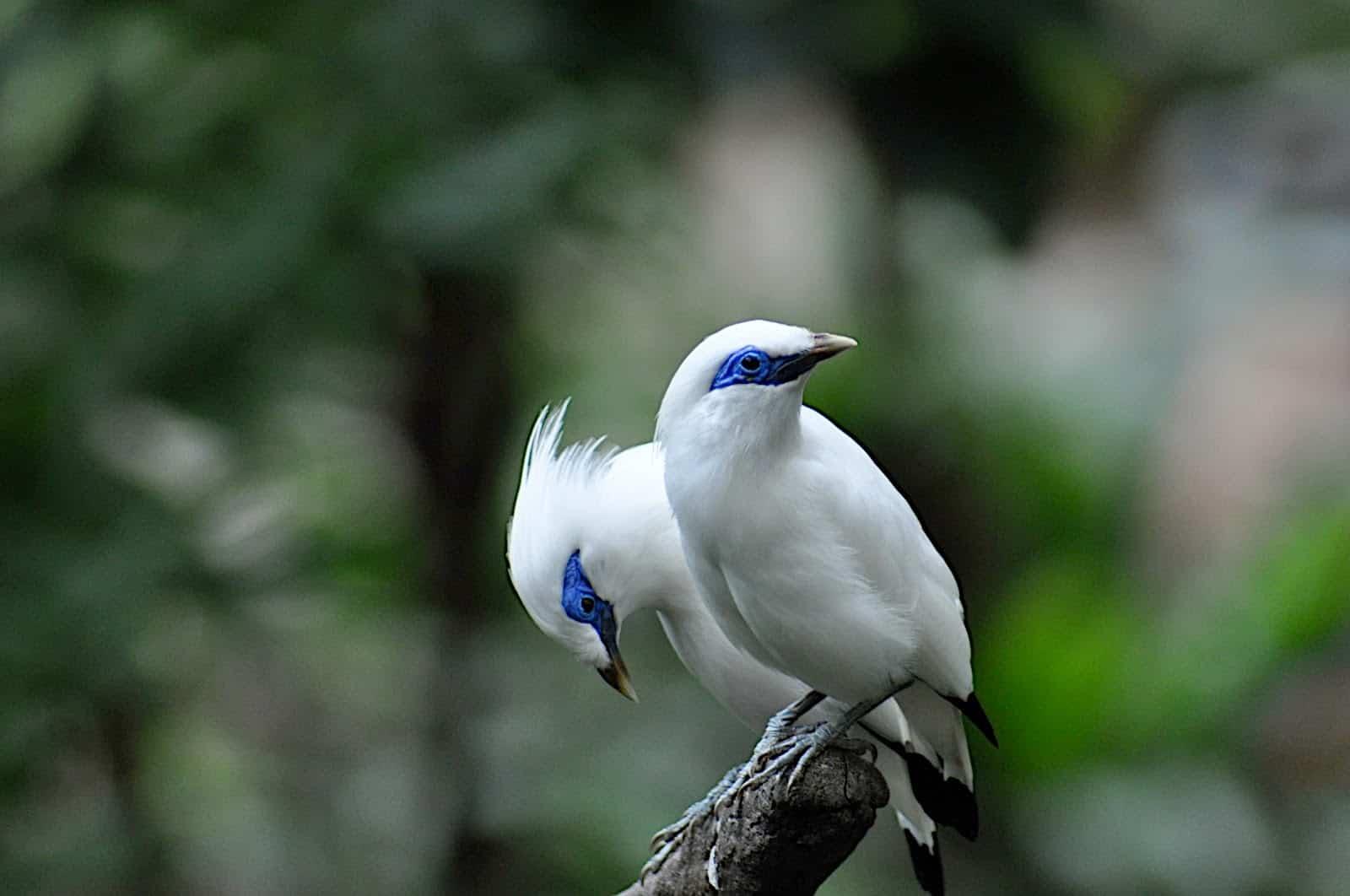 Endemic animals, endangered animals, Indonesian animals, jalak bali, fauna mascot