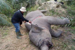 elephants, animals, sumatran elephant