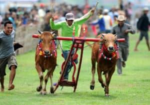 Karapan Sapi Festival