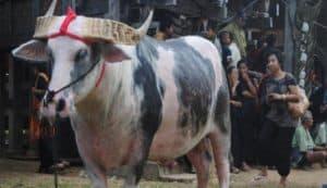 Tana Toraja Death Rituals - Funeral Ceremony - Facts of