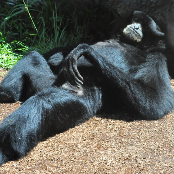 Top 9 Interesting Siamang Gibbon Facts – Endangered