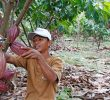 Indonesia Cocoa Production – Plantation – Development