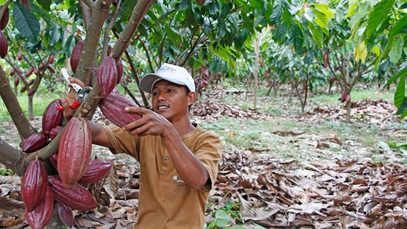 Indonesia Cocoa Production – Plantation – Development