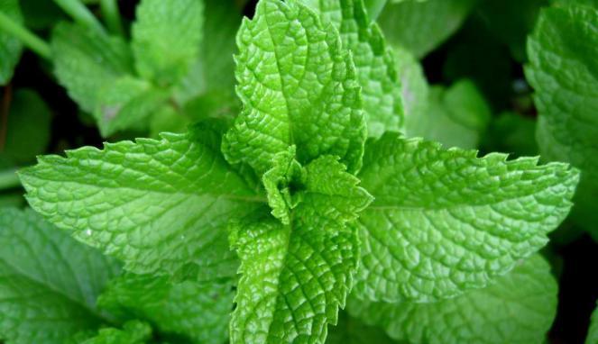 17 Medicinal Plants of Indonesia – Health Benefits
