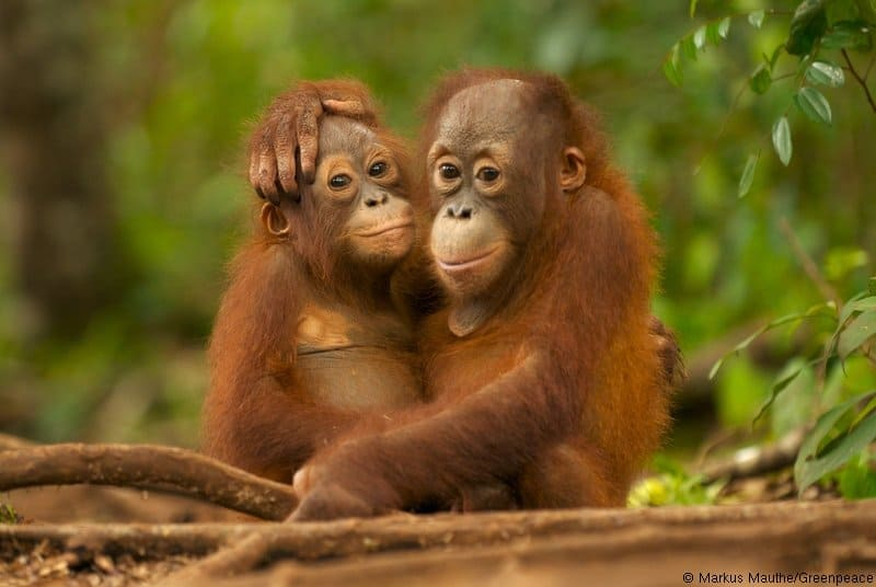Endangered Orangutans in Indonesia – Threats – Conservation