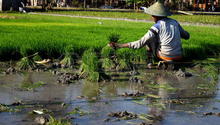 10 Easy Traditional Rice Growing Methods in Indonesia