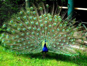 bird merak hijau