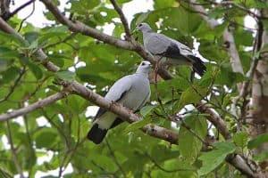 bird merpati hutan perak