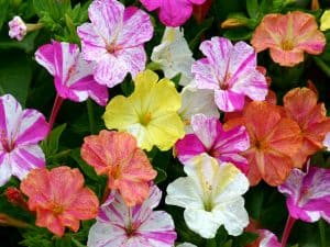bunga ashar