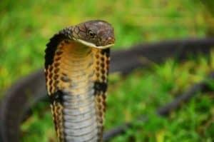 snake anang