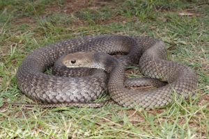snake eastern brown