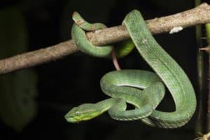 snake indonesian pit viper