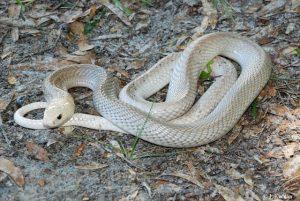 snake javanese spoon