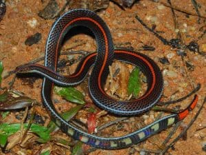 snake small chilly