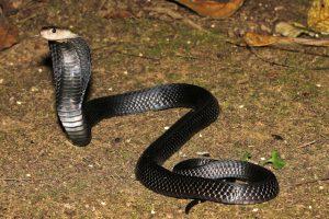 snake sumatran spitting cobra