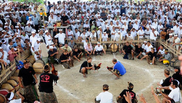The History Cockfighting in Bali – Tradition