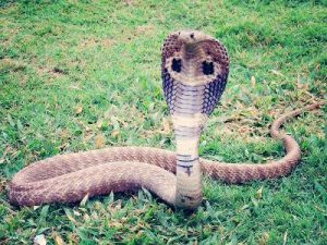 King Cobra Is Known As A Snake That Eats Poisonous Snakes Such Krait And Well Other Young Python
