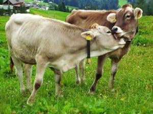 west java livestock