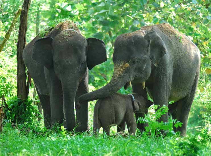 12 Reasons Why Are Elephants Endangered in Indonesia