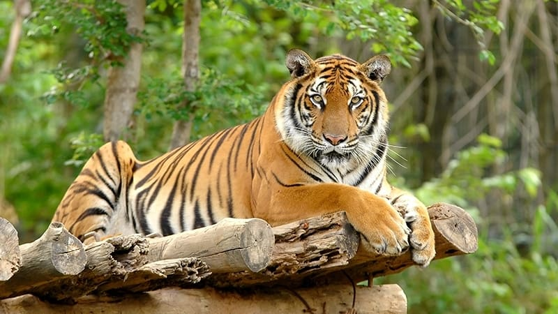12 interesting facts of javan tigers facts of indonesia. Black Bedroom Furniture Sets. Home Design Ideas