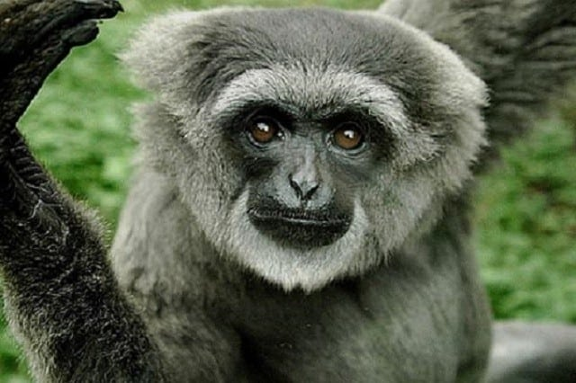 13 Interesting Facts of Javan Gibbon
