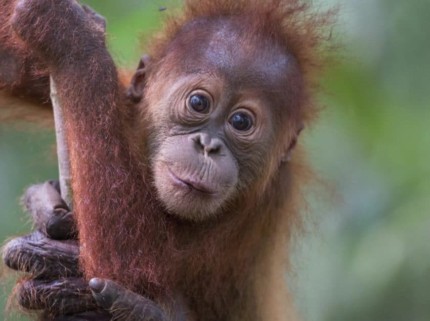25 Interesting Facts About Indonesian Orangutans