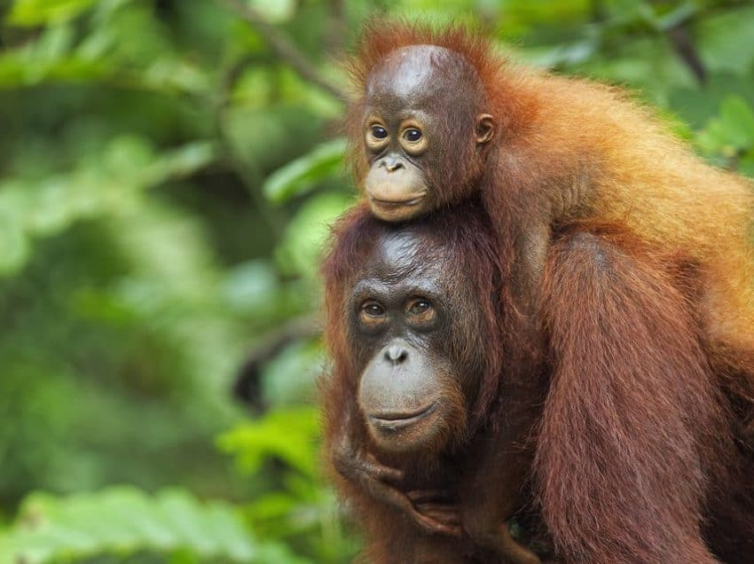 13 Best Place in Indonesia to See Orang Utans