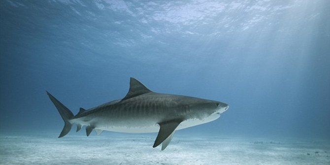 10 Most Common sharks in Bali