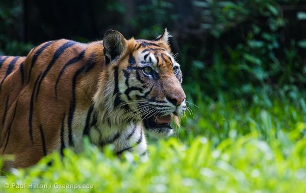 15 Interesting Facts About Indonesia Tiger