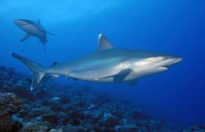10 Most Common sharks in Bali - Facts of Indonesia