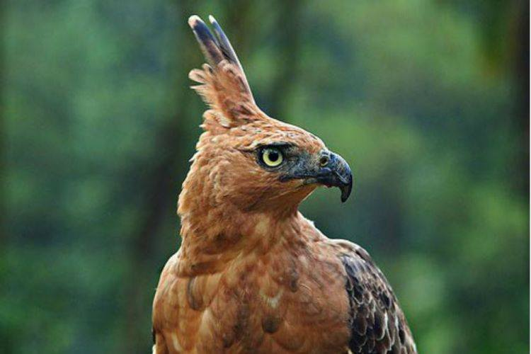 10 Common Types of Eagles in Indonesia (#3 is Endemic)