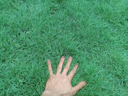 10 Different Types of Grass in Indonesia