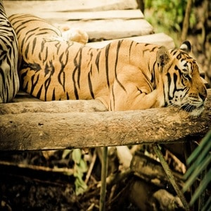 15 Facts About Bali Tigers Indonesia