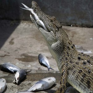 Fish Eating Crocodiles