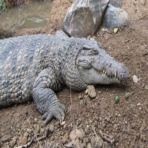 Irian Crocodile