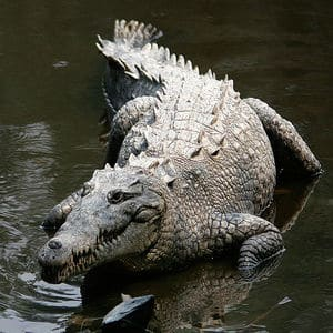 Kalimantan Crocodile