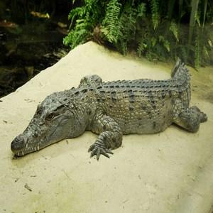 Mindoro Crocodile