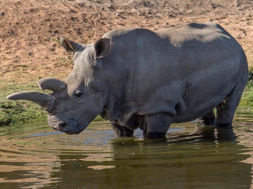 14 Facts About The Endangered Javan Rhino