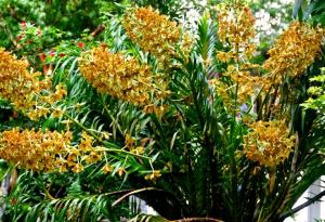 Sugarcane Orchid