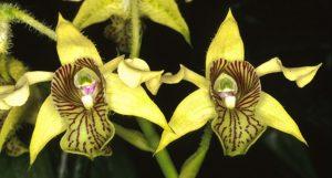Jamrid Orchid