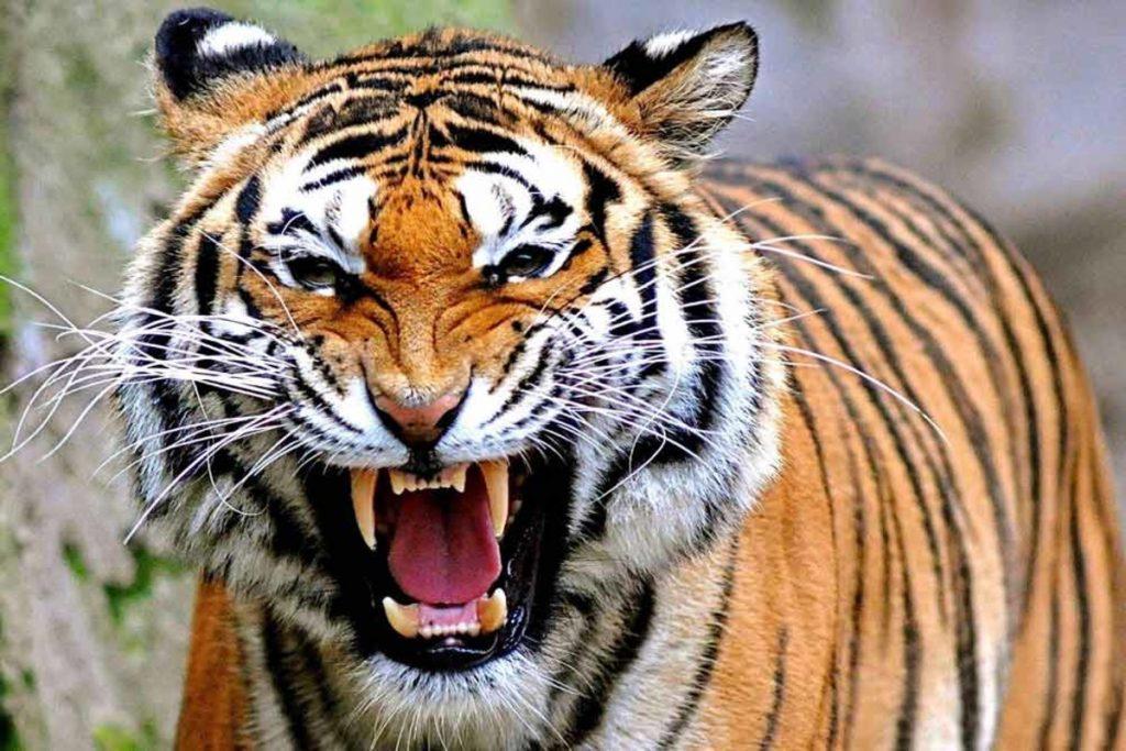 Sumtran Tiger
