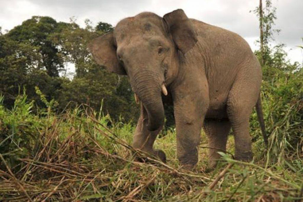 Borneon Elephant